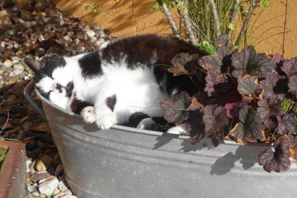 Katze in bepflanzter Zinkwanne