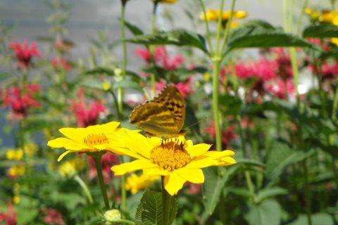 Sonnenblumen mit Schmetterling