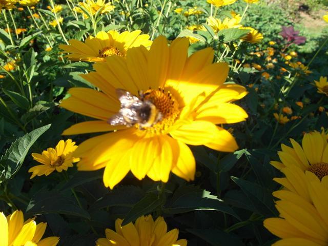 Hummel auf gelber Blüte